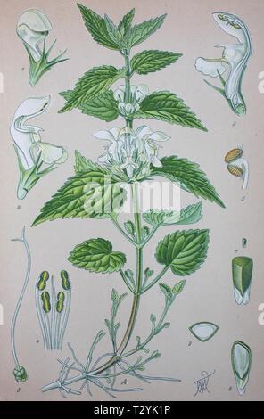 White nettle (Lamium album), historical illustration from 1885, Germany - Stock Photo
