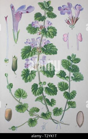 Ground-ivy (Glechoma hederacea), historical illustration from 1885, Germany - Stock Photo