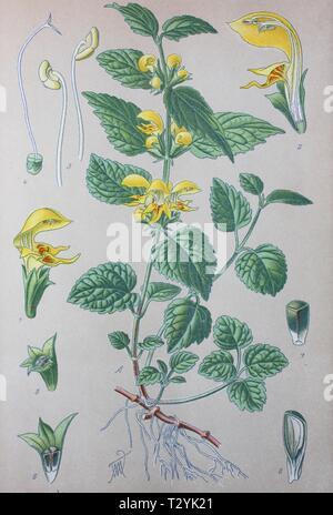 Yellow archangel (Lamium galeobdolon), historical illustration from 1885, Germany - Stock Photo