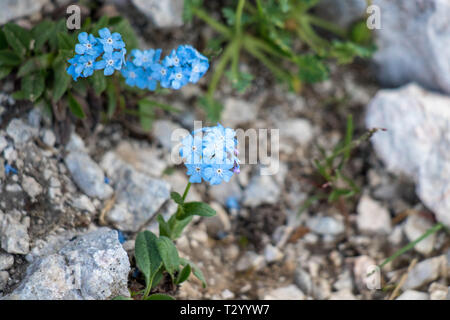 Alpine forget-me-not in the mountains - Stock Photo