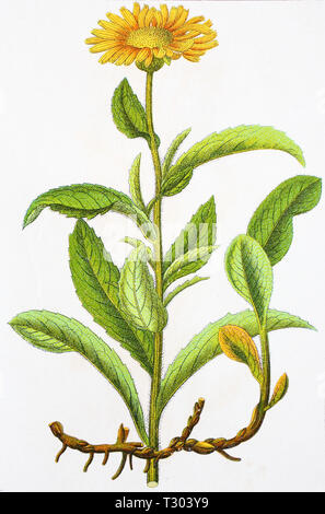 Digital improved reproduction of an illustration of, Rauher Alant, Inula  hirta, , from an original print of the 19th century - Stock Photo