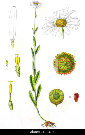 Digital improved reproduction of an illustration of, Margerite, Leucanthemum vulgare, ox-eye daisy, oxeye daisy, from an original print of the 19th century - Stock Photo