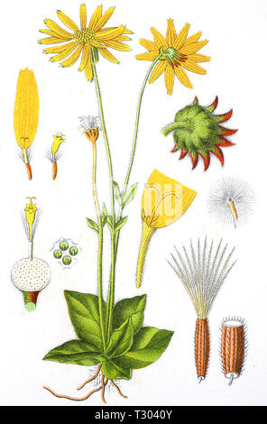 Digital improved reproduction of an illustration of, Arnika, Arnica montana, wolf's bane, leopard's bane, mountain tobacco, mountain arnica, from an original print of the 19th century - Stock Photo