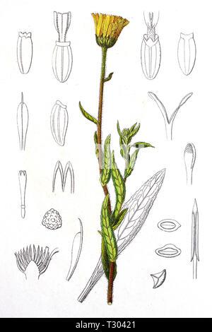 Digital improved reproduction of an illustration of, Weidenblättrige Alan, Weiden-Alant, Pentanema salicinum, Irish fleabane, from an original print of the 19th century - Stock Photo