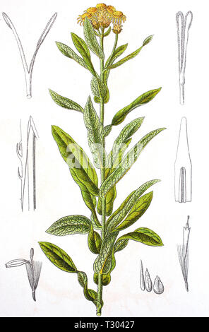 Digital improved reproduction of an illustration of, Deutscher Alant, Inula germanica, german Elecampane, from an original print of the 19th century - Stock Photo