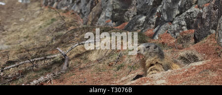 Alpine Marmot (Marmota marmota) looking out of burrow carrying brown pine needles in its mouth. - Stock Photo