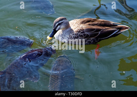 Indian spot-billed duck (Anas poecilorhyncha) is a large dabbling duck that is a non-migratory breeding duck throughout freshwater wetlands in the Ind - Stock Photo