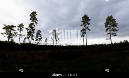 A grove of tall trees in silhouette against an overcast sky found in Willingham Woods near Market Rasen, Lincolnshire, England, United Kingdom - Stock Photo