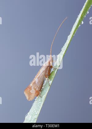Caddisfly,  also called sedge-fly or rail-fly - Stock Photo