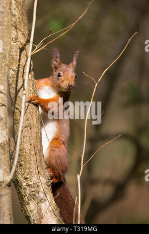 Detailed, close-up front view of a single, wild red squirrel (Sciurus vulgaris) in the sunshine, climbing up a tree in natural UK woodland habitat. - Stock Photo