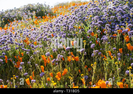 Backlit, afternoon sun view of orange poppies and lacy phacelia during the California wildflower super bloom - Stock Photo