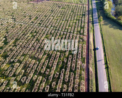 Aerial view above road and blossoming large apple tree orchard - Stock Photo