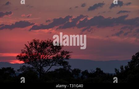 Stunning pink and orange sunset over the bush at Sabi Sands Game Reserve, Kruger, Mpumalanga, South Africa. - Stock Photo