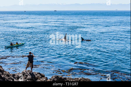 Tourists watch on as a pod of Killer Whales pass by Lime Kiln State Park on San Juan Island, Washington, USA. - Stock Photo