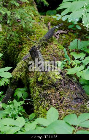 Moss covered log on the forest floor - Stock Photo