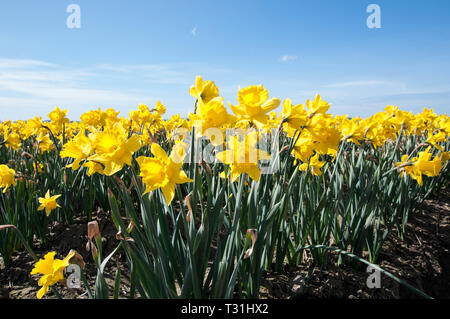 These sunny yellow daffodil flowers are blooming in a large flower field in this nature landscape in spring.  Bright blue sky makes these spring flowe - Stock Photo