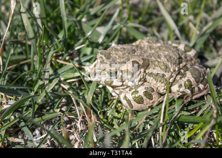 Frog in the grass. A green frog sits in the grass. Toad resting in the spring on the grass. Country frog. Animal. - Stock Photo