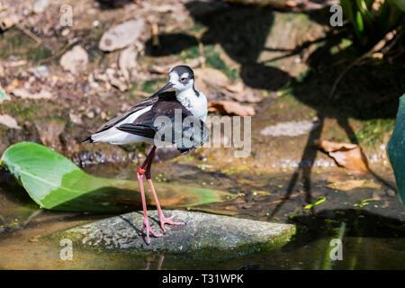 Black-winged stilt or Himantopus himantopus in nature - Stock Photo