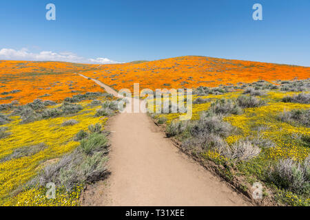 Colorful path through poppy wildflower super bloom field in Southern California. - Stock Photo