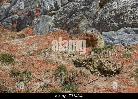 Alpine Marmot (Marmota marmota) carrying brown pine needles in its mouth. - Stock Photo