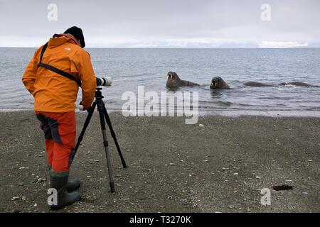 Photographer taking picture of Atlantic Walrus, Odobenus rosmarus, Spitsbergen, Arctic Ocean, Norway