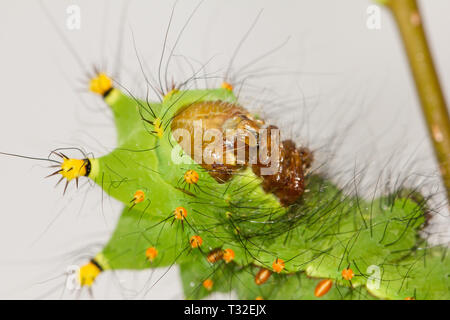 Indian moon moth caterpillar - Stock Photo