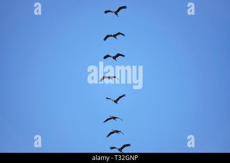 Moving cranes, slack slack, in Hamburg, Germany, Ziehende Kraniche, Grus grus, Deutschland - Stock Photo
