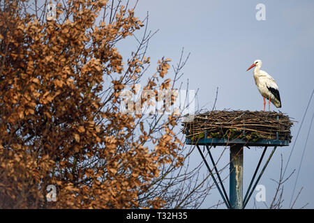The first repatriate from the winter quarters in February: White stork (Ciconia ciconia) Rudi on his nest in Kirchwerder, Hamburg, Germany, Erster Rüc - Stock Photo