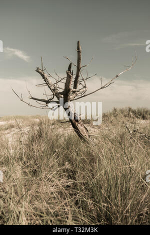 Dead leafless tree in a field of dry grass on a scorching hot day, Fire Island, NY - Stock Photo