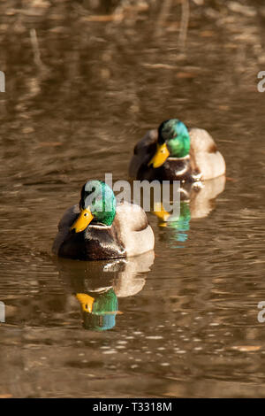 Two Male Green mallard ducks (Anas platyrhynchos) swimming with reflection in Albuquerque, New Mexico, USA - Stock Photo