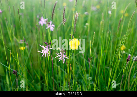Ragged Robin and buttercup wildflowers at Hannah's Meadow in County Durham. g - Stock Photo