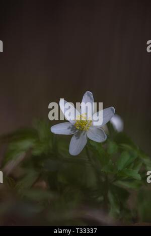 beautiful white blossom of a thimbleweed, wood anemone - Stock Photo