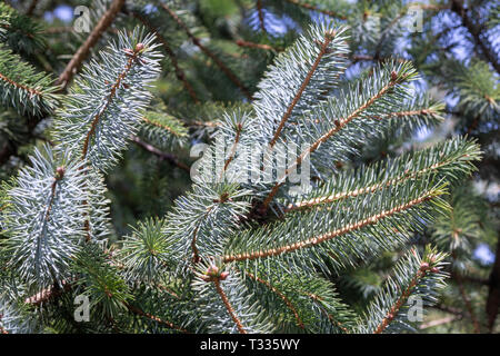 Blue spruce detail. Picea pungens - Stock Photo
