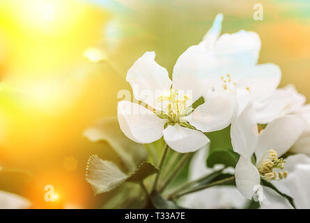 Spring blossom flowers, may be used asbackground - Stock Photo