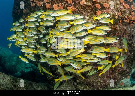 Blue-and-Gold Snapper, Lutjanus viridis, La Paz, Baja California Sur, Mexico - Stock Photo