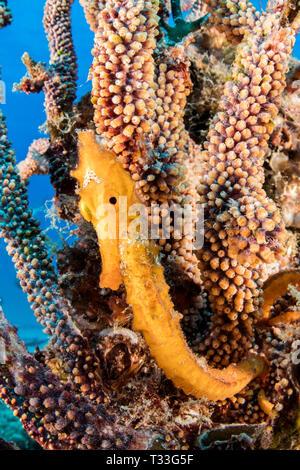 Pacific Seahorse, Hippocampus ingens, La Paz, Baja California Sur, Mexico