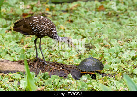 A limpkin (Aramus guarauna) and a Florida red-bellied cooter (Pseudemys nelsoni) on a log surrounded by water cabbage in Corkscrew Swamp Sanctuary, Fl - Stock Photo