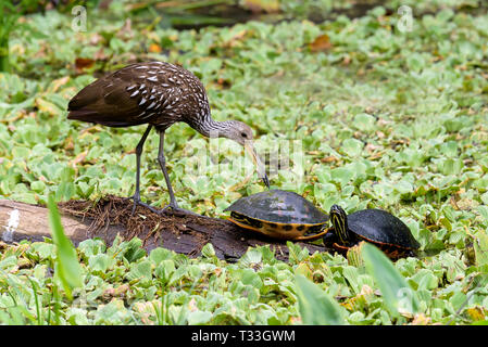 A limpkin (Aramus guarauna) and Florida red-bellied cooters (Pseudemys nelsoni) on a log surrounded by water cabbage in Corkscrew Swamp Sanctuary, Flo - Stock Photo