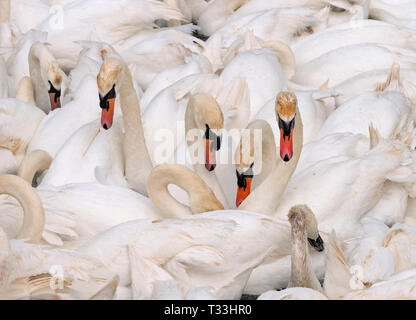 Mute Swans Cygnus olar on the Fleet lagoon Dorset - Stock Photo