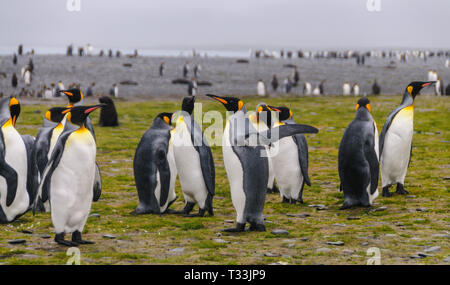 A large group of King Penguins -Aptenodytes patagonicus- Standing on the Salisbury Plains of South Georgia. - Stock Photo