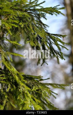 Spruce branch. - Stock Photo