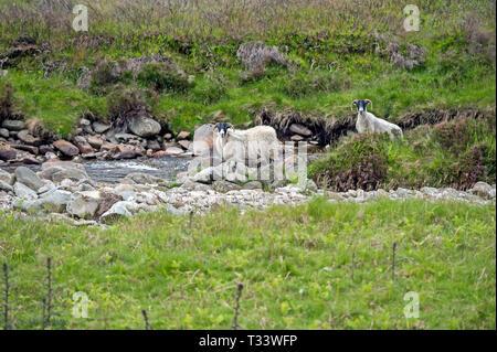 Two sheep standing alongside Scottish burn on hillside. - Stock Photo