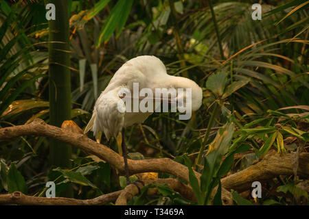 The African spoonbill (Platalea alba) an branch with green background - Stock Photo