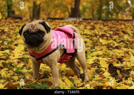 Little female pug posing in dog pink coat in colorful autumn leaves - Stock Photo