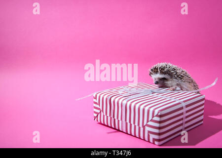 Little hedgehog climbs on the present on pink background - Stock Photo