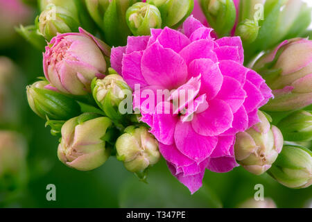 Macro of pink kalanchoe flower blossoms - Stock Photo