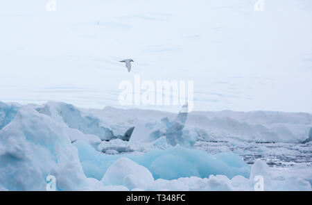 A Snow Petrel, Pagodroma nivea flys around Icebergs off Anvers Island, in the Palmer Archipelago, Antarctica. - Stock Photo