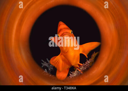 A bright orange garibaldi shot in with a magic tube to capture the reflections of the animals color right out of the camera. - Stock Photo