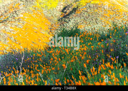 Vibrant poppies blooming on a hillside in Lake Elsinore bounce to the gentle breeze during a bright day. - Stock Photo