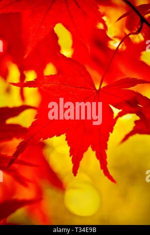 Soft focuscolourful  Autumn image of Japanese Maple leaves. - Stock Photo